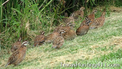 Quail Call Count Surveys for Management, Hunting