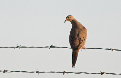 Texas Dove Hunting - Texas Dove Season