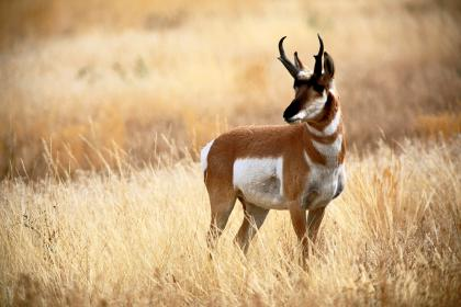 Texas Pronghorn Antelope Hunting