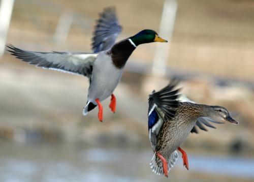 Texas Duck Hunting - Duck Hunting in Texas