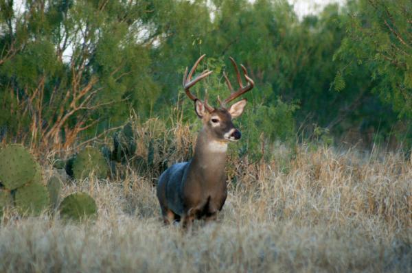 South Texas Deer Hunting