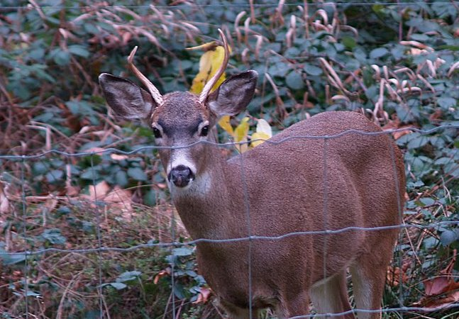 Illegal Deer Hunting in Comal County