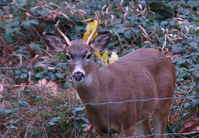 Deer Hunting and Shooting Spike Bucks