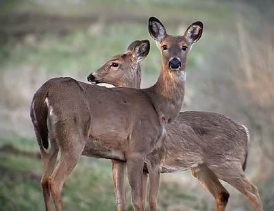 Deer Hunting Advice - Deer Hunting Tips