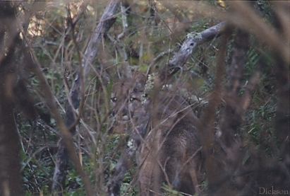 Deer Hunting: Mountain Lion Stalks Hunter