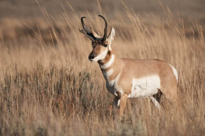 Texas Panhandle Pronghorn Antelope Get New Home