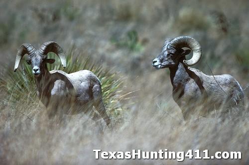 Texas Bighorn Sheep Hunting