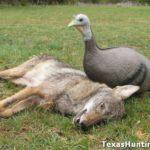 Turkey Hunting Season, Coyote Season