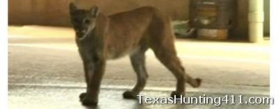 Mountain Lion Shot in El Paso