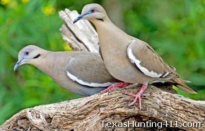 Texas Dove Hunting: Anacua Unit of Las Palomas Wildlife Management Area (WMA)