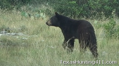Black Bears are in Texas