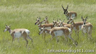 Texas Pronghorn Permits: Pronghorn Antelope Hunting