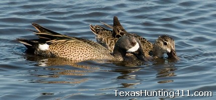 Texas Teal Season 2011