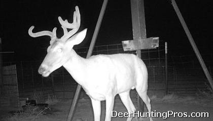 Deer Hunting: Culls Bucks for Deer Management
