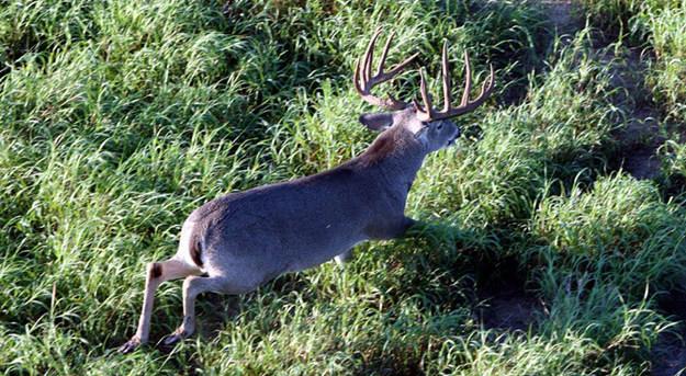 Helicopter Deer Surveys for Whitetail Deer Management