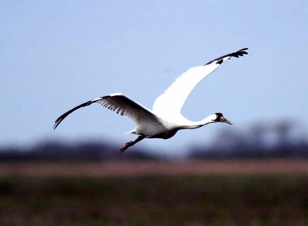 Whooping Crane at Lake Granger