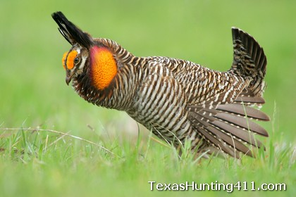 Prairie Chicken Hunting in Texas - No, Surveys May Show Species is Endangered