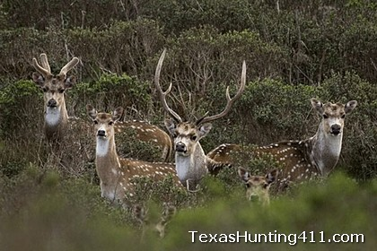 Trapping Axis Deer in Texas - Trapping Exotics