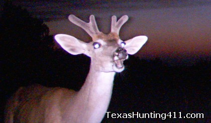 Deer Hunting in Texas - Whitetail Hunting in Texas