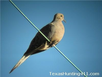 Dove Hunter Survey - Dove Hunting in Texas