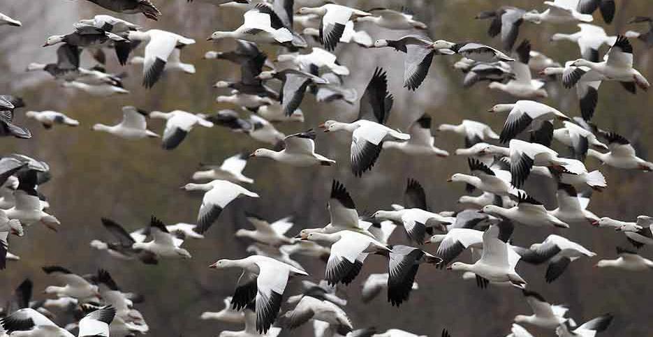 Goose Hunting Season in Texas Looks Bright!