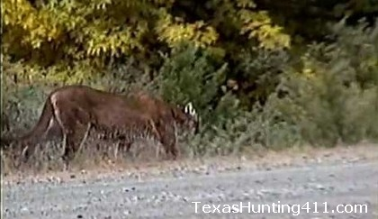 Mountain Lion Road-Killed Near Bandera, Texas