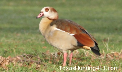 Egyptian Goose in Texas - More Hunting Options