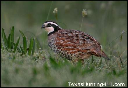 Quail Hunting and Management in Texas