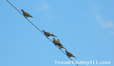 Dove Hunting in Texas 2013