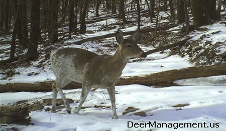 Whitetail Deer with Piebald Coloration