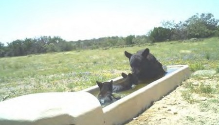 Black Bears in Texas