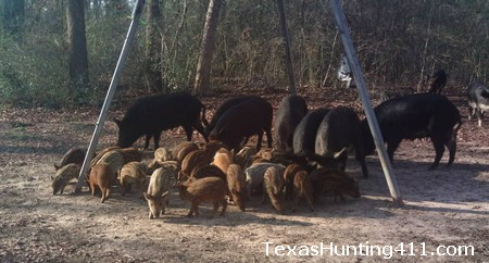 Controlling Wild Hogs in Texas - Is Sodium Nitrite the Answer?