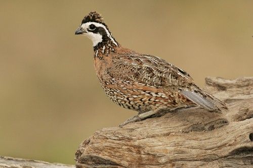 Bobwhite Quail in Texas