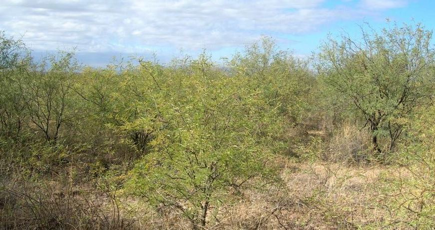 Mesquite Control for Better Hunting Lands
